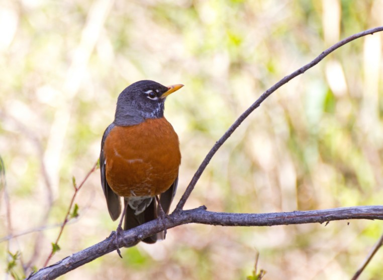 American Robin Bird Sitting on Branch