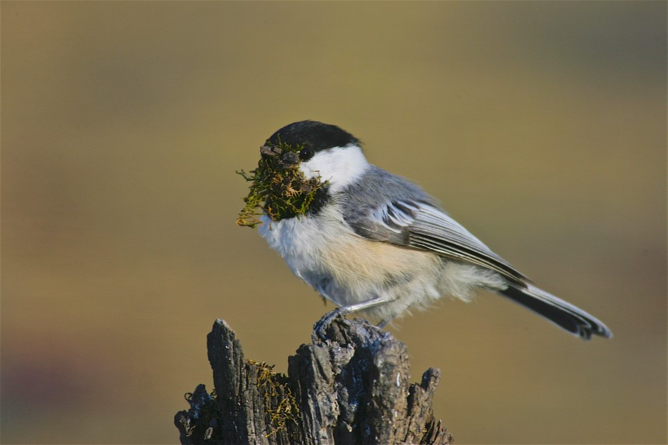 black capped chickadee bird sitting on branch