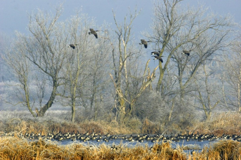 geese flying over marsh land
