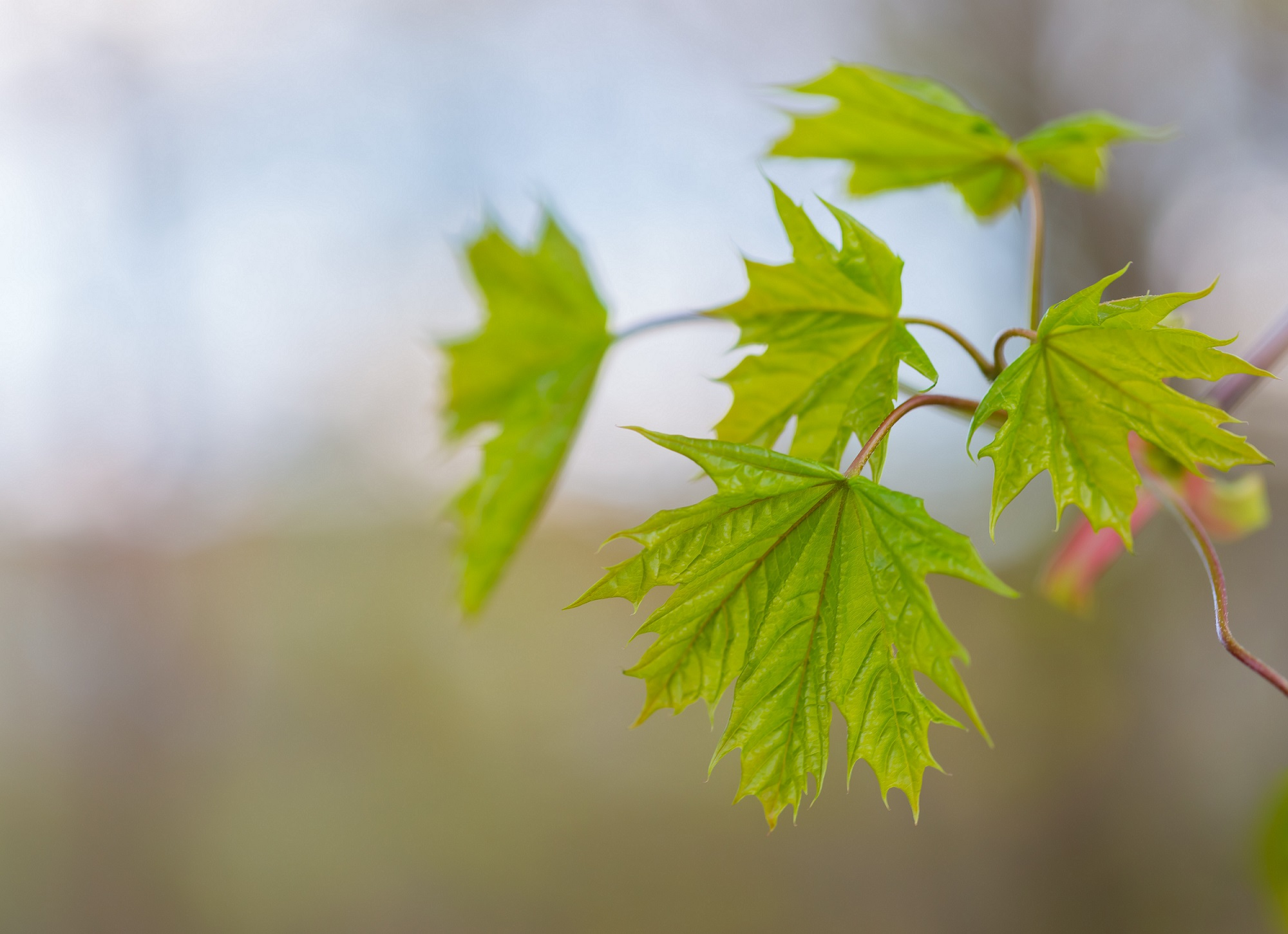 green maple leaves on tree
