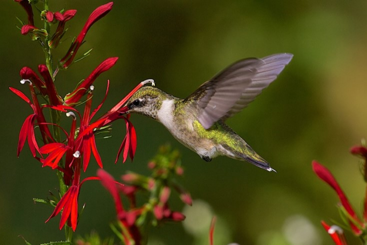 Ruby Throated Hummingbird flying above a flower