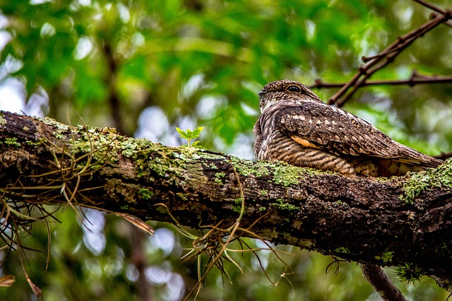 whippoorwill bird sitting in tree